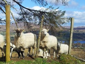 Ireland Bike Tour, Sheep near Lough Eske