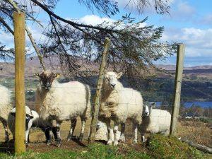 Cyclotourisme en Irlande, Moutons près du lac Eske
