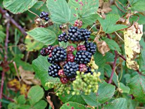 Roadside blackberries for cycling holidays